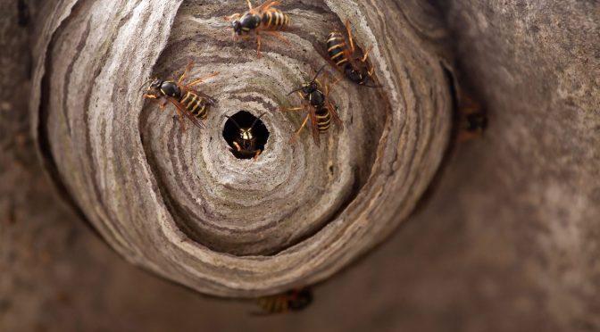 Last van ongedierte? Bel de wespenbestrijding in Beverwijk